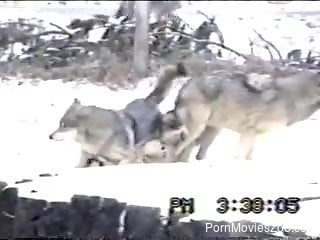 Pack of wolves is having sex on a snowy ground