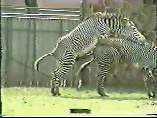 Two wild and sexy zebras are fucking outdoors