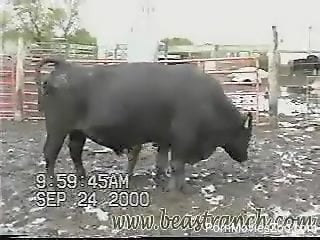 Big-dicked bull showing off his goodies on camera