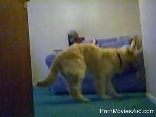 furry dog pleases his female owner with zoophilia sex