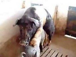 Pig Porn Videos